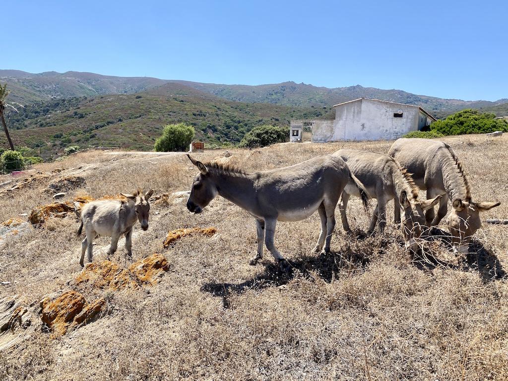 Gli asini dell'isola Asinara - www.runningpost.it